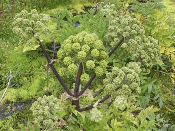 Nalewka z arcydzięgla: przepis na ziołowe remedium
