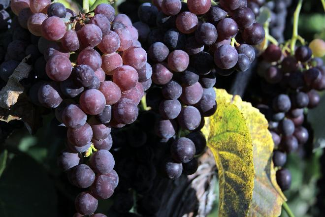 Winogrona: sok z czarnych winogron na zimę [przepis]